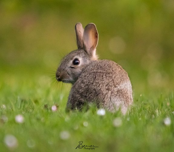 Dawn Rabbit